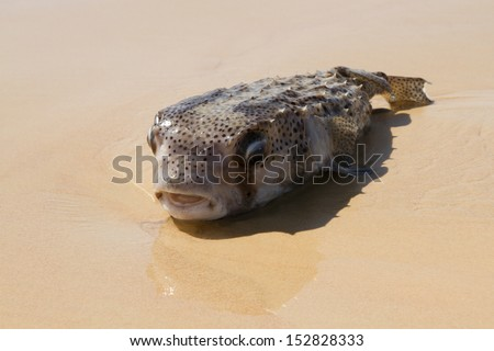 Blowfish on the beach - stock photo