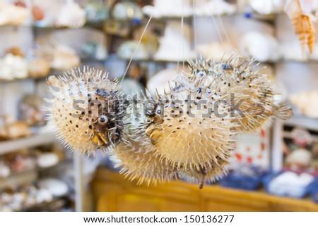 Blowfish or puffer fish in Souvenir shop - stock photo