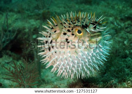 Blowfish or puffer fish underwater in ocean - stock photo