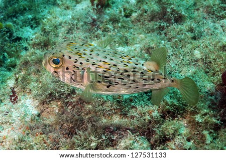Blowfish or spiny porcupine fish underwater in ocean - stock photo