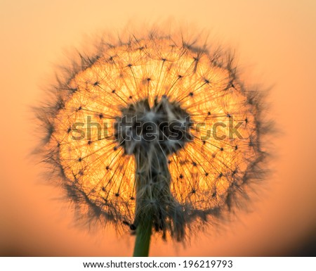 blown dandelion flower against the setting sun - stock photo
