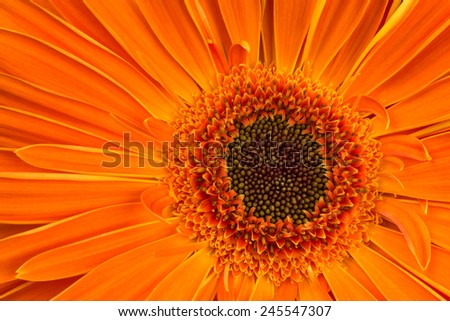 blown orange gerbera flower closeup as background - stock photo
