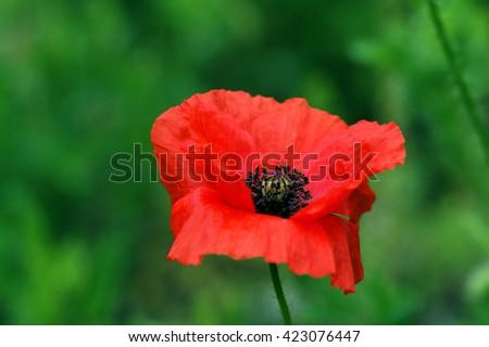 Blown red poppy - stock photo