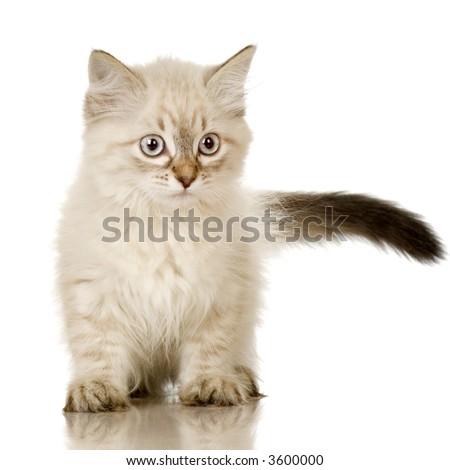 Blu-tabby-point Birman kitten in front of a white background - stock photo