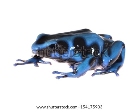 Blue and black poison dart frog Dendrobates auratus isolated - stock photo
