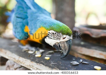 Blue and Gold Macaw eat nut - stock photo