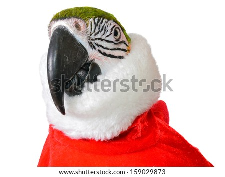 Blue and Gold Macaw in Christmas suit - stock photo