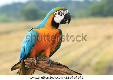 Blue and Gold Macaw,macaw,beautif ul bird, parrot - stock photo