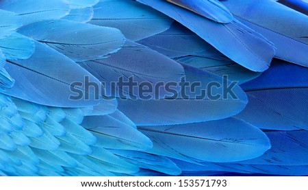 Blue and Gold Macaw wing feathers  - stock photo