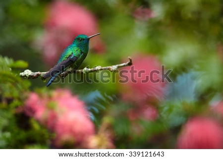 Blue and green hummingbird Blue-chinned Sapphire resting on a pink flowering shrubs - stock photo