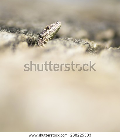 Blue and green lizard (lacerta viridis) relaxes on tree in natural environment - stock photo