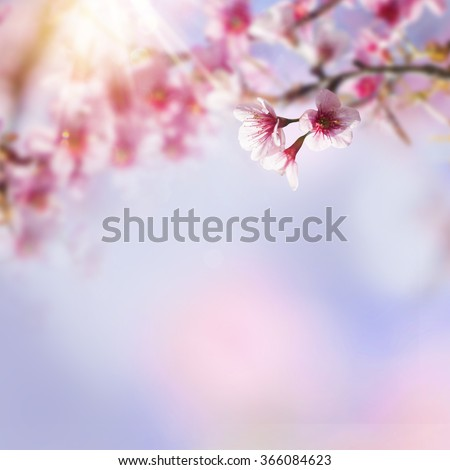 Blue and pink background with cherry blossoms framing the bright vibrant sky with sunshine. Spring nature flower background. Sakura, Japan. - stock photo