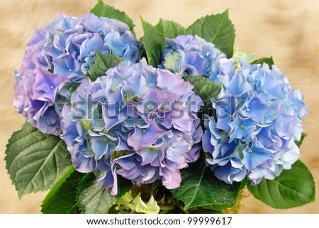 Blue and purple hydrangea - stock photo