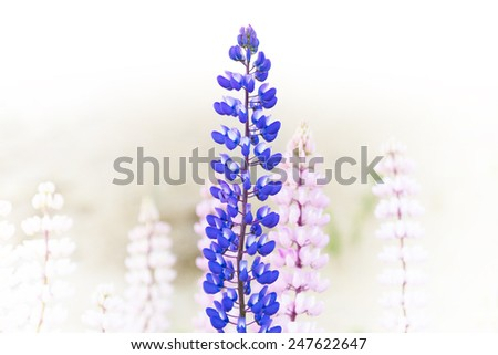 Blue and purple wild lupine flower on background with pink lupines - stock photo