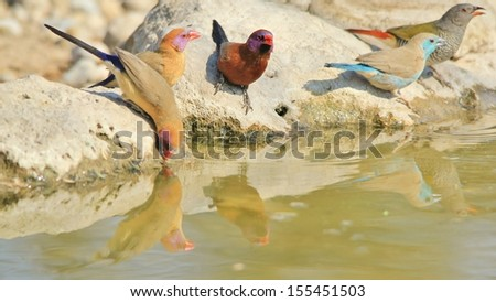 Blue and Violet-eared Waxbill - Wild Bird Background from Africa - Sharing water with family of color - stock photo