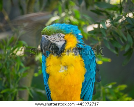Blue-and-yellow macaw (Ara ararauna) is a large South American parrot with blue top parts and yellow under parts. - stock photo