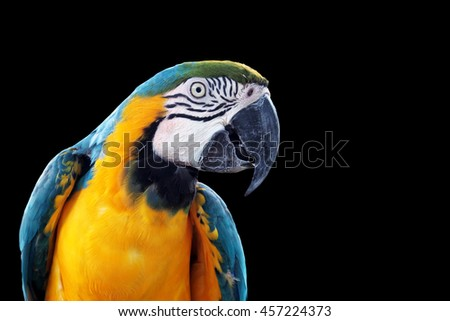 Blue-and-yellow macaw (Ara ararauna), Macaw parrot on black background - stock photo