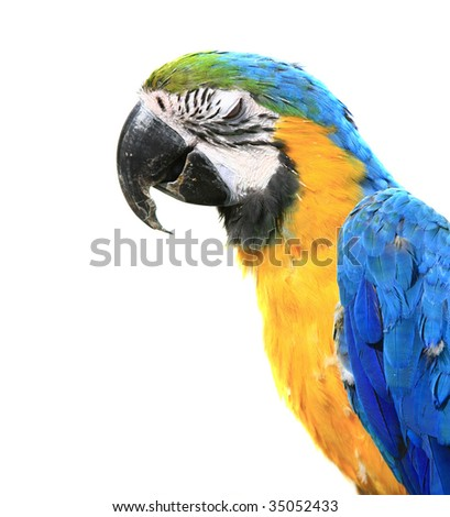 Blue-and-yellow Macaw - Ara ararauna of a white background - stock photo