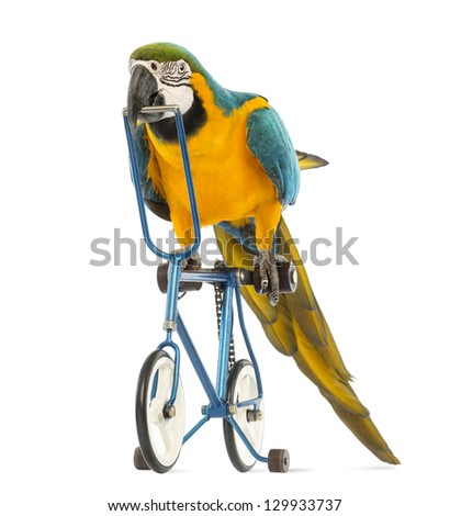 Blue-and-yellow Macaw, Ara ararauna, 30 years old, riding a blue bicycle in front of white background - stock photo