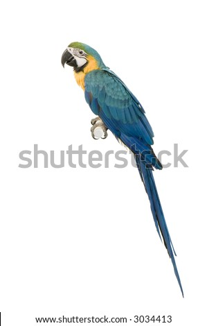 Blue-and-yellow Macaw in front of a white background - stock photo