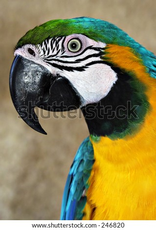 Blue and Yellow Macaw Parrot, Gran Canaria - stock photo