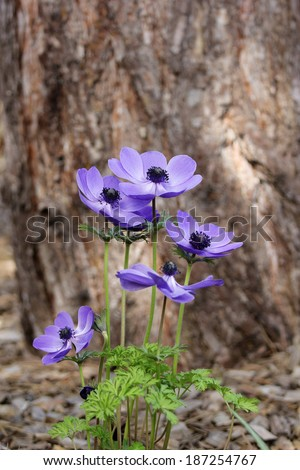 Blue anemone (coronaria or Mr. Fokker) under the root of a big tree - stock photo