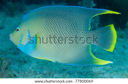 Blue Angelfish on a reef in south east Florida. - stock photo