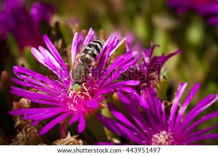 Blue banded Bee on Purple flower macro shot. - stock photo