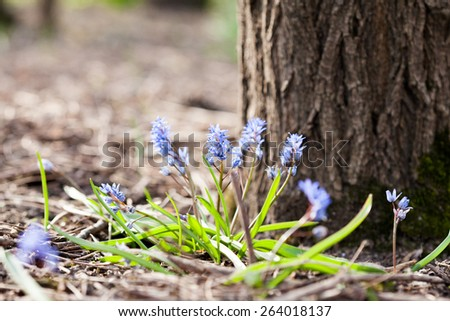 Blue bell (Scilla bifolia) plant with flowers and natural background - stock photo