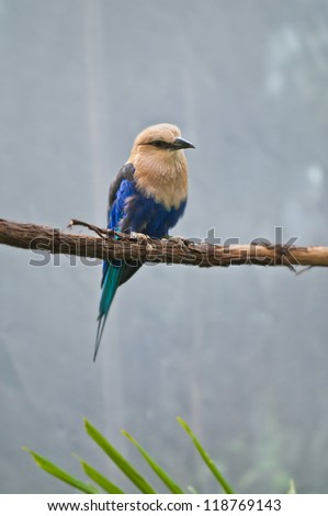 Blue-bellied Roller bird perched on the tree branch - stock photo