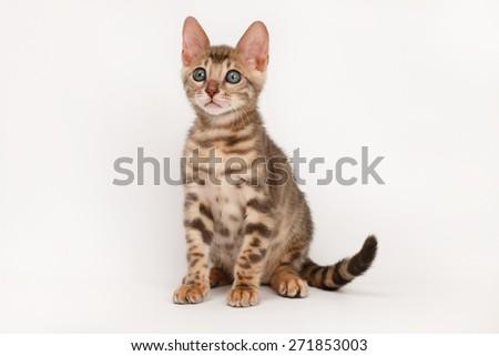 Blue Bengal Kitten - stock photo