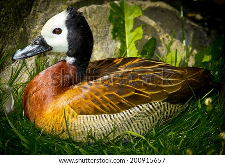 Blue Billed Duck - stock photo