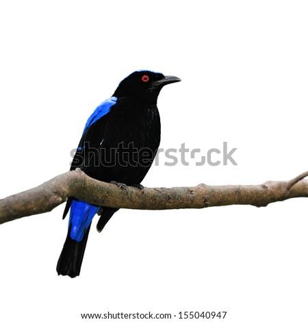 Blue bird, a male Asian Fairy Bluebird (Irena puella) on white background - stock photo