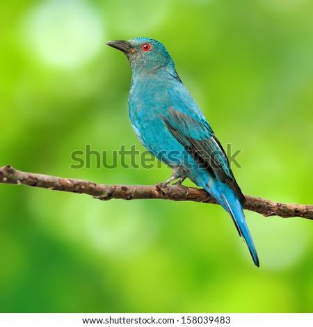 Blue Bird (Asian Fairy Bluebird ) isolated on green background  - stock photo