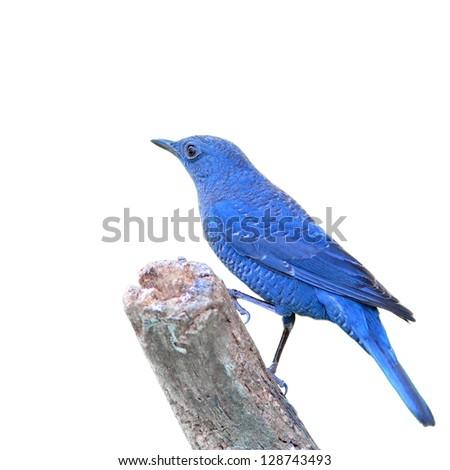 Blue Bird (Blue Rock Thrush), Bird of Thailand - stock photo