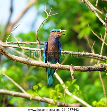 Blue Bird Indian Roller (Coracias benghalensis) on a branch - stock photo