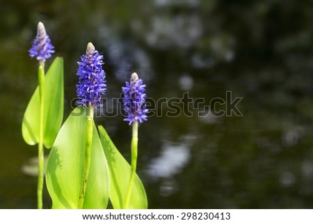 blue blooming pickerelweed (Pontederia cordata) water plant in the garden pond, selected focus, copy space in the dark background - stock photo