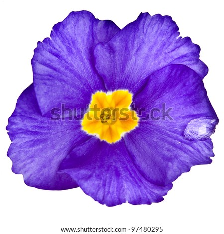 Blue blooming primrose primula polyanthus isolated on white - stock photo