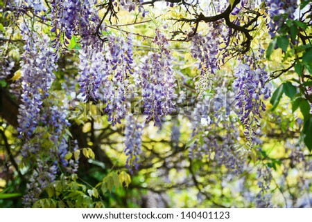 blue blossoms of Chinese Wisteria - stock photo