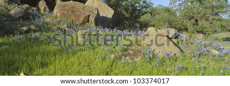 Blue bonnets in Hill Country, Willow City Loop Road, Texas - stock photo
