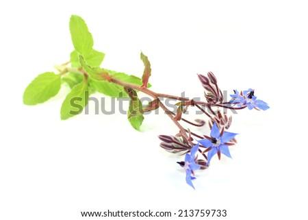 blue borage flowers on a white background - stock photo