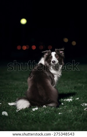 Blue Border Collie on a dark background - stock photo