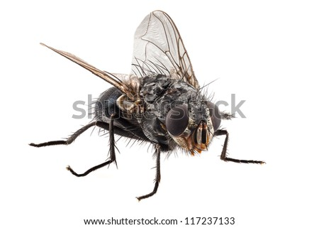 blue bottle fly species calliphora vomitoria isolated on white background - stock photo