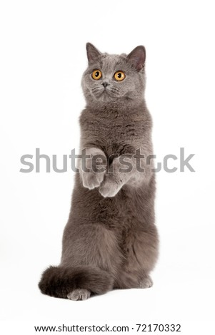 blue british female cat on white background - stock photo