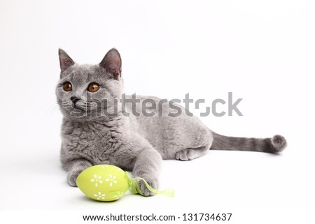 blue British short hair cat with yellow eyes/Cat playing with Easter egg - stock photo