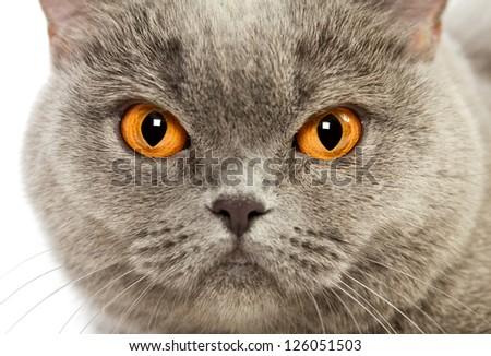 blue british shorthair cat, close up portrait - stock photo