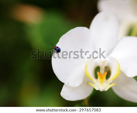 blue bug, tropical beetles with red dot on his body creeping under sunlight in summer on an orchid flower outdoor in green area in nature with natural bokeh background, THAILAND - stock photo