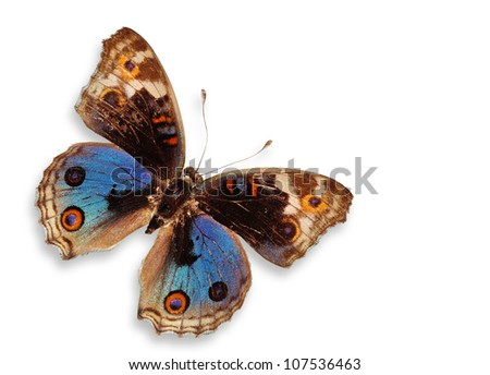 Blue Butterfly Isolated (Blue Pancy Butterfly) - stock photo