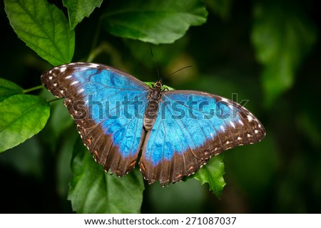 Blue butterfly on the green leaf - stock photo
