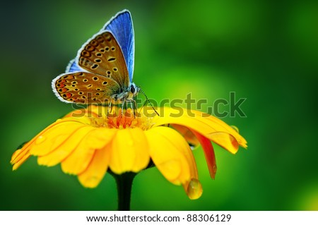 blue butterfly on yellow flower - stock photo